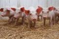 Компания «Отрада Ген» введет в эксплуатацию четвертую свиноферму в Липецкой области в 2017 году