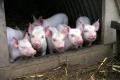 Тамбовская область добавит экологичности своим свинокомплексам