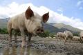 Основные активы липецкой свиноводческой компании «Золотой пятачок» выкупила фирма с одноименным названием