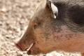 Группа «Черкизово» ввела в эксплуатацию свинокомплексы в Липецкой области за 500 млн рублей