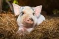 По производству свинины Липецкая область заметно уступает половине регионов Черноземья